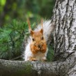 Squirrel - 