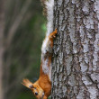 Squirrel - Photo