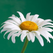 White daisy — Stock Photo