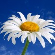 White daisy — Stock Photo #9546648