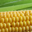 Corn on Cob - Stock Photo