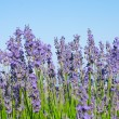Royalty-Free Stock Photo: Lavender with blue