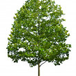 Tree — Stock Photo #9548056