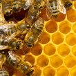 bees on honeycells — Stock Photo #9548716