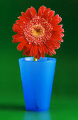 Red daisy in blue glass — Stock Photo