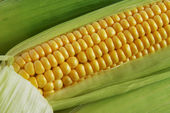 Corn on Cob — Stock Photo