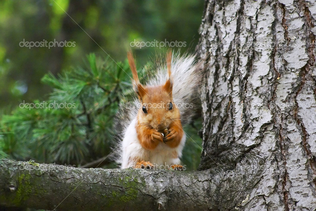 Squirrel — Stock Photo #9546246