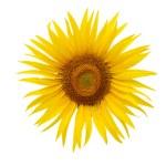 Bright yellow sunflower — Stock Photo