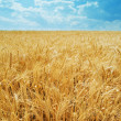 Stems of the wheat - Stock Photo