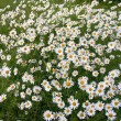 Thousands daisy - Stockfoto