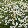 Stock Photo: Thousands daisy