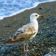 The seagull on coast - Stockfoto