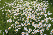 Thousands daisy — Stock Photo