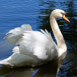 Beautiful swan on black background - Stock Photo