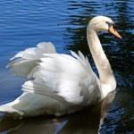 Beautiful swan on black background — Stock Photo #9593312