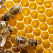 bees on honeycells — Stock Photo #9594753