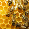 Foto Stock: Bees on honeycells