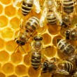 图库照片: Bees on honeycells