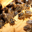 bees on honeycells — Stock Photo #9594796