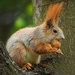squirrel siting on the tree and eating a nut — Stock Photo