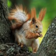 Squirrel siting on the tree and eating a nut - Stock Photo