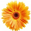 Orange daisy petails — Stock Photo