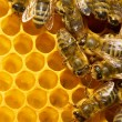 bees on honeycells — Stock Photo #9597969