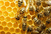 Bijen op honeycells — Stockfoto