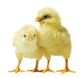 курица на белом фоне — Стоковое фото