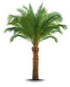 Palmiye ağacı — Stok fotoğraf
