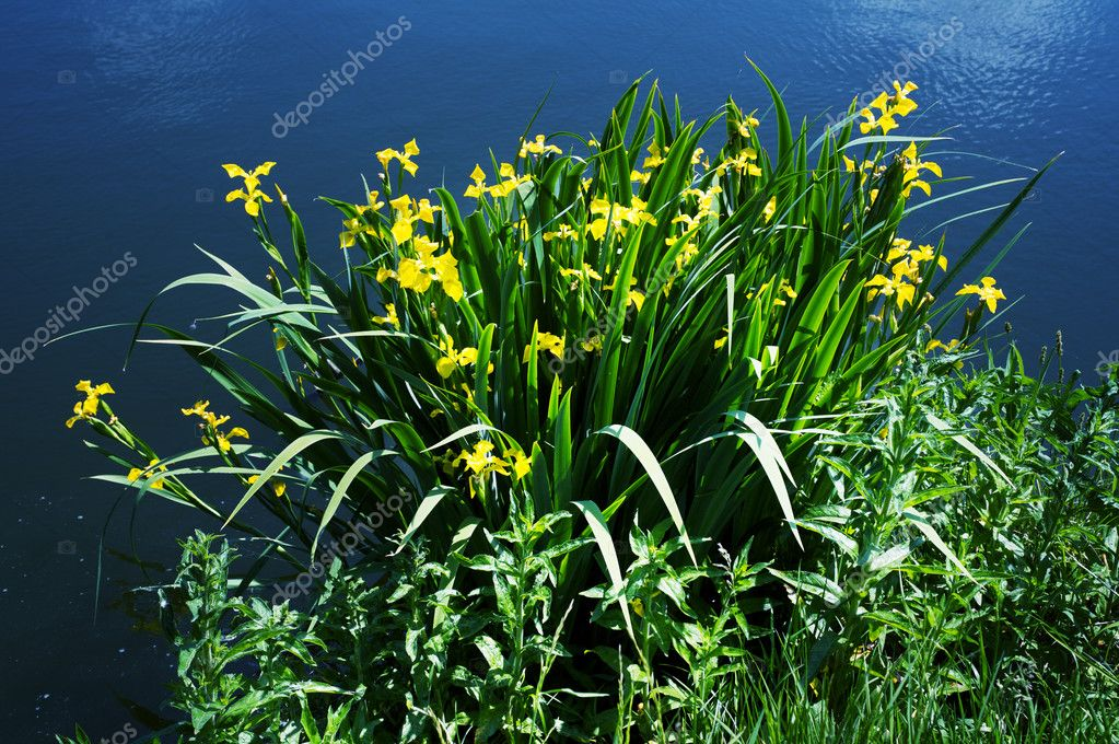 Yellow flower against dark blue river — Stock Photo #9596949