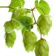 Hop isolated on white background - Stock Photo