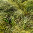 Feather-grass - Stock Photo
