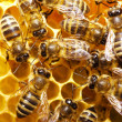 Bees on honeycells - Lizenzfreies Foto