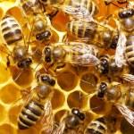 Bees on honeycells — Stock Photo