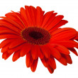 Close up view of red daisy — Stock Photo #9606932