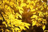 Yellow leaf background — Stock Photo