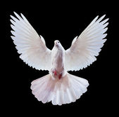 A free flying white dove isolated on a black — Stock Photo