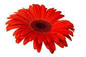 Close-up van rode daisy — Stockfoto