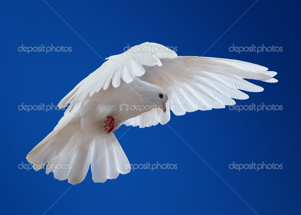 Dove in the air with wings wide open in-front of the sun — Stock Photo #9605267