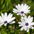 Three beautiful white flower — Stock Photo
