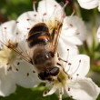 Stock Photo: Apple tree flower and bee closeup