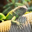 Stock Photo: Young brown iguana