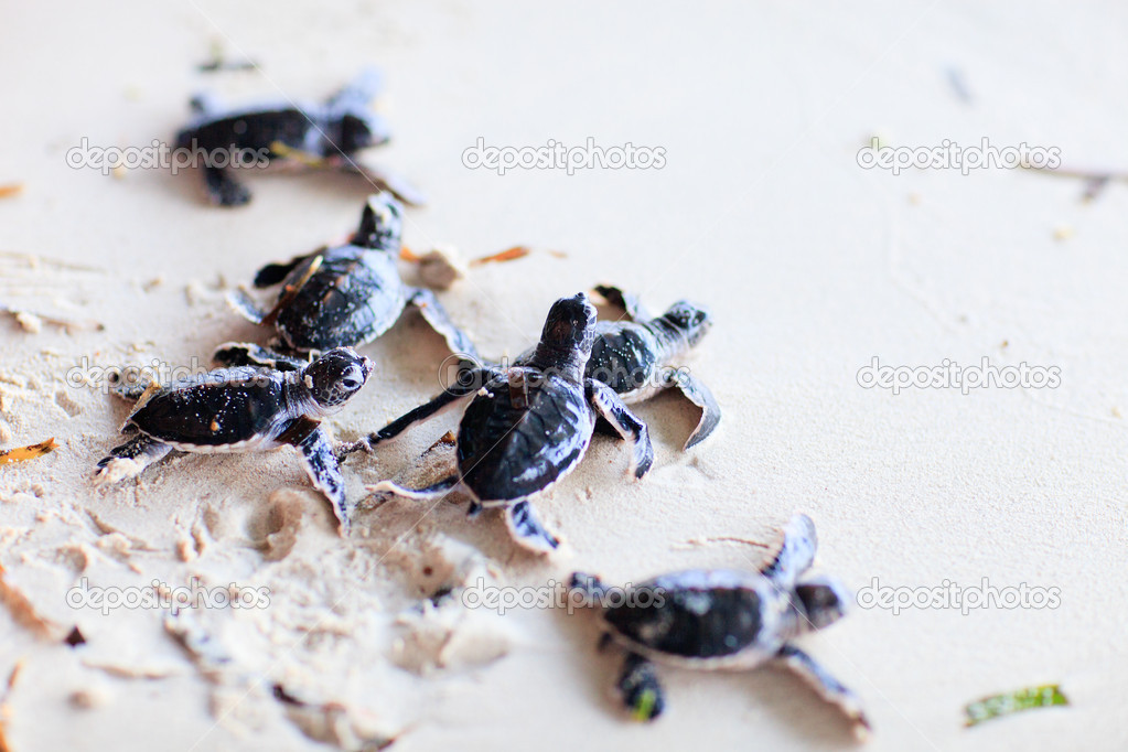 Baby green turtles making it's way to the ocean — Stock Photo #10557264