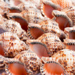 Conch shells — Stock Photo #10615711