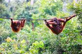Orangotangos de sabah em Bornéu malaio — Fotografia Stock