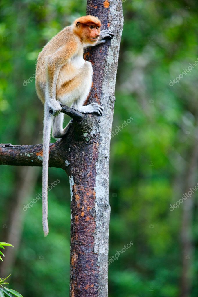 Female proboscis monkey in a wild on Borneo island in Malaysia — Stock Photo #9694918