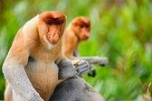 Proboscis monkeys — Stock Photo
