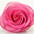 Pink rose — Stock Photo #10046180