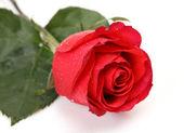 Fine rose — Stock Photo